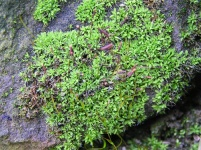 Syntrichia calcicola