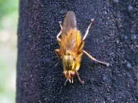 Scatophaga stercoraria Dungfliege